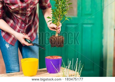 Close-up Partial View Of Woman Removing Plant With Soil In Pot