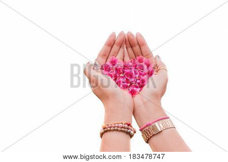Cherry blossom heart shape in girl's hand isolated on white background.