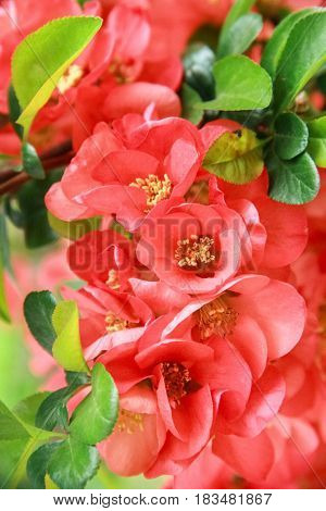 Red scarlet flower of Henomesel on a green background