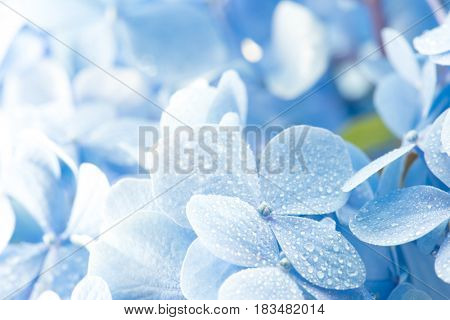 Young Hydrangea flower with dew and incoming light. Extremely shallow depth of field for dreamy feel.