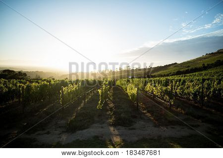Scenic view of vineyard against sky during sunny day