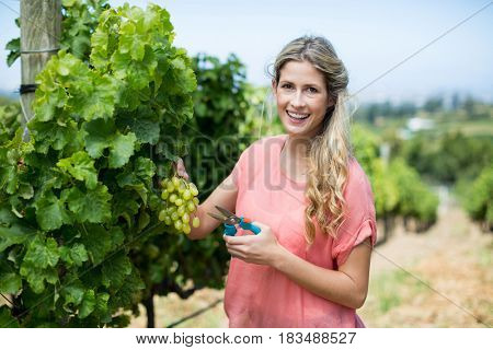 Portrait of smiling woman cutting grapes through pruning shears from plant at vineyard