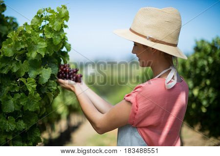 Happy female farmer holding red grapes at vineyard