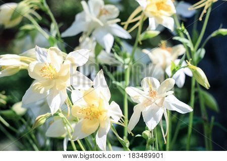 White flowers of aquilegia  on a green background