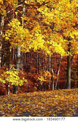Fall in Park beautiful autumn yellow wood tree