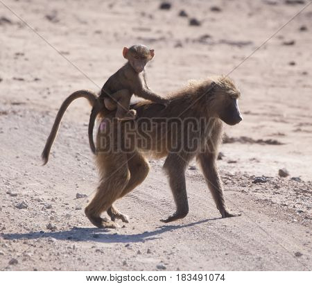Baby monkey rides on the back of an adult monkey