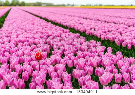 One red-yellow tulip stands out above the many pink flowering tulip flowers in a large field at a specialized Dutch bulb nursery. It's an early morning on a day at the beginning of the spring season.