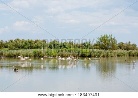 wild flamingo birds in the lake in France, Camargue, Provence.