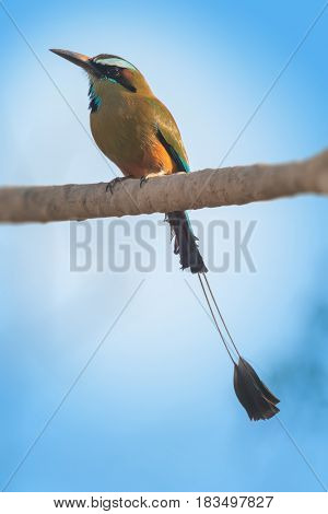 Turquoise browed motmot (Eumomota superciliosa) sits on a tree's branch