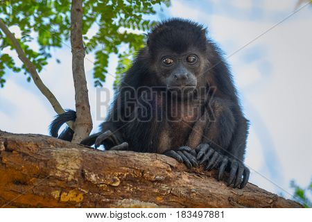 Mantled howler (Alouatta palliata). Baby of golden mantled howling monkey on the tree