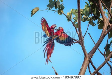 Two scarlet macaw (Ara macao) one the brunch with a blue sky on the background