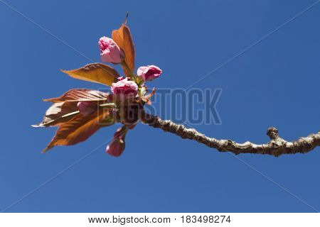 close up detail of pink flowers of Japanese cherry blossom tree in the springtime on blue background selective focus