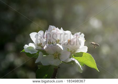 honey bee in flight approaching a white flower of a tree in the morning light springtime dark background