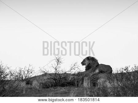 A large male lion lying on a dune with it's mane blowing in the wind. In black and white / monochrome.