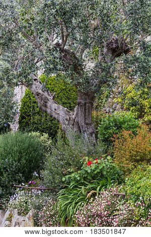 Olive tree in the garden, Mougins, Alpes-Maritimes department, France