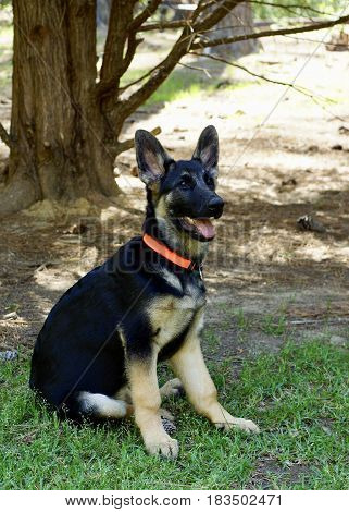 Sitting German Sheppard puppy, side view with red collar sitting on green grass in wooded country setting