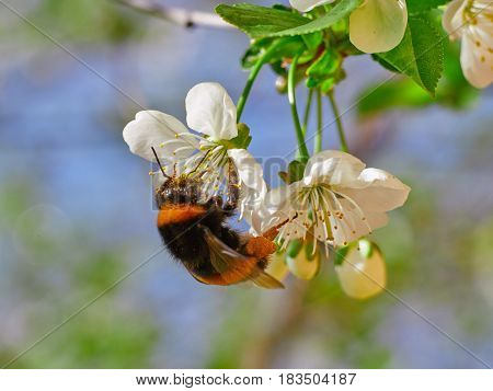 Honey Bee Bumblebee Harvesting Pollen From Cherry Blossom,bee Collecting Nectar From White Cherry Fl