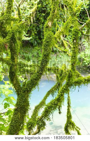 View on mossy boxwood trees in wild forest