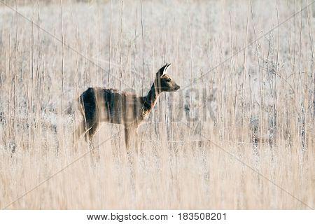 Alert Roe Deer Doe Between Reed Picking Up Sound.