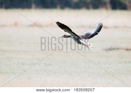 Greylag goose taking off in a field.