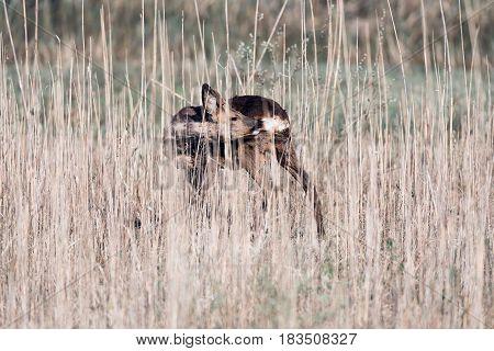 Roebuck standing between reed washing his fur.