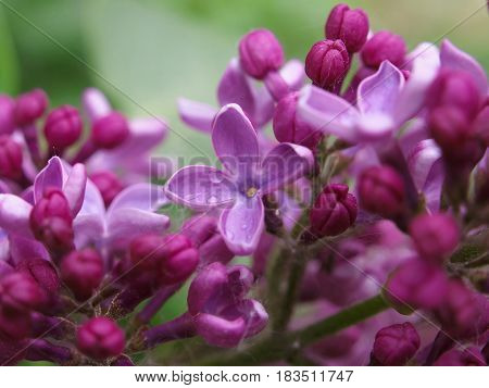 Sweet Violet Lilac Flowers On Background. Sweet Lilac. Lilac Flowers. Green Branch With Spring Lilac