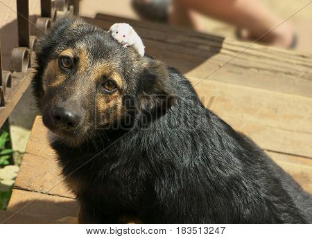 Funny Company, Mixed Breed Dog And White Mouse On Dog Head, Good Friendship