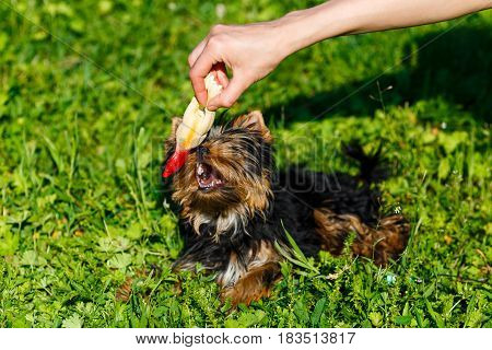Beautiful Yorkshire terrier playing with a toy in the hands of its owner.