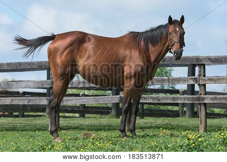 Thoroughbred horse near a fence in a field with yellow flowers.