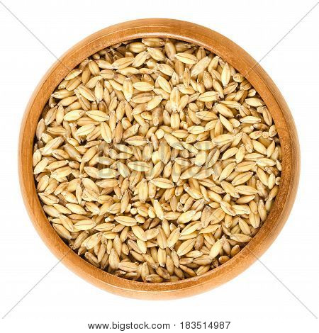 Hulless barley in wooden bowl, also called naked barley. Variation of Hordeum vulgare, an ancient food crop and cereal grain. Isolated macro food photo close up from above on white background.