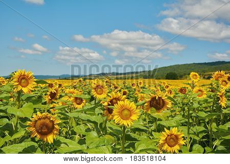 Field of Yellow Sunflowers under Cloudy Sky in Bulgaria
