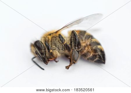 Macro Image Of A Dead Bee On A White Background From A Hive In Decline, Plagued By The Colony Collap