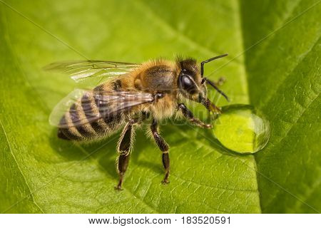 Macro Image Of A Bee On A Leaf Drinking A Honey Drop From A Hive