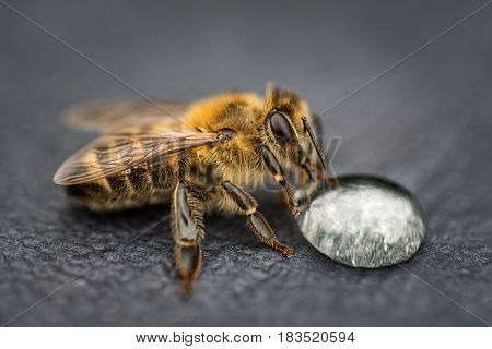 Macro Image Of A Bee On A Gray Surface Drinking A Honey Drop From A Hive