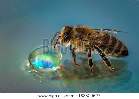 Macro Image Of A Bee On A Reflective Surface Drinking A Honey Drop From A Hive