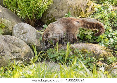 Nasua raccoon coati. Brown-nosed Coati in Prague.