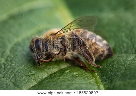 Macro Image Of A Dead Bee On A Leaf From A Hive In Decline, Plagued By The Colony Collapse Disorder