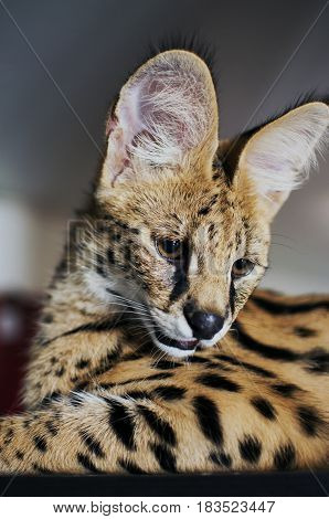 Male serval cat (leptailurus serval) looks down: 5 month old male pet serval Chappie sitting on top of brown cupboard staring away from the camera looking down.