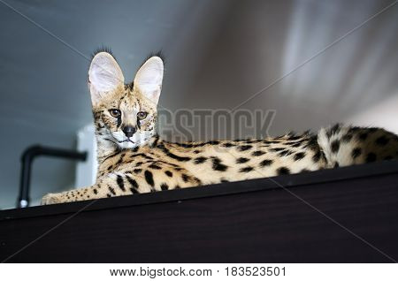Male serval cat (leptailurus serval) sitting on top of cupboard: 5 month old male pet serval Chappie sitting on top of brown cupboard staring away from the camera.