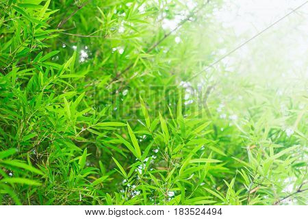 Forest Bamboo Trees, Nature Green Leaf Sunlight Background