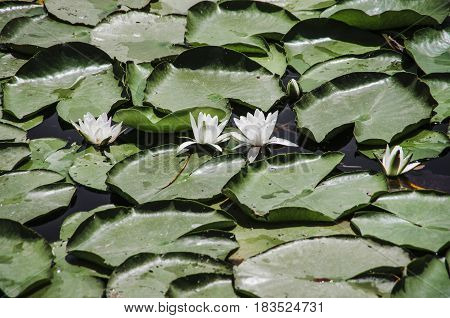 Water lilies while traveling on Lake Skadar
