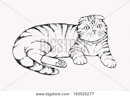 Fold cat - hand drawn vector illustration. Flap-eared tabby kitten is lying. Realistic portrait housecat