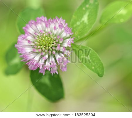 trifolium flower in a meadow in la spezia