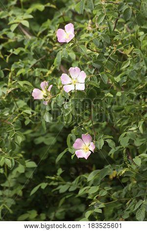 detail of a wild rose in a field in la spezia