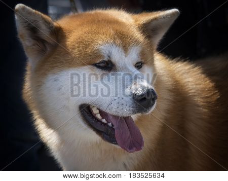 The Portrait of an adult akita inu