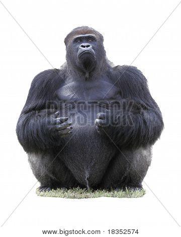 Lowland silverback Gorilla