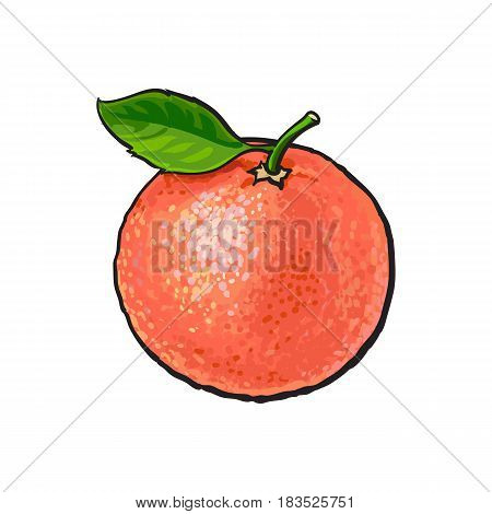 Whole shiny ripe pink grapefruit, red orange with a leaf, hand drawn sketch style vector illustration on white background. Hand drawing of unpeeled round whole grapefruit with fresh green leaf