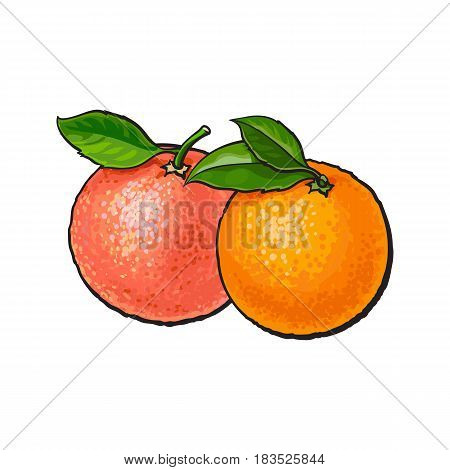 Whole shiny orange and pink grapefruit with fresh green leaves, hand drawn sketch style vector illustration on white background. Side view hand drawing of unpeeled whole orange and grapefruit