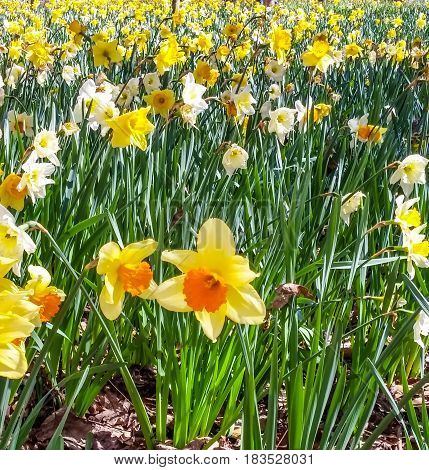 Many yellow jonquils blooming in a forest garden