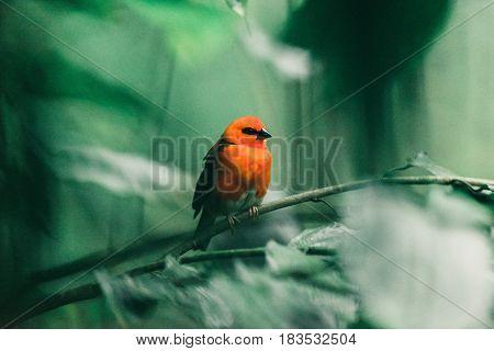 Little Red Bird Sitting On Twig In Rainforest.